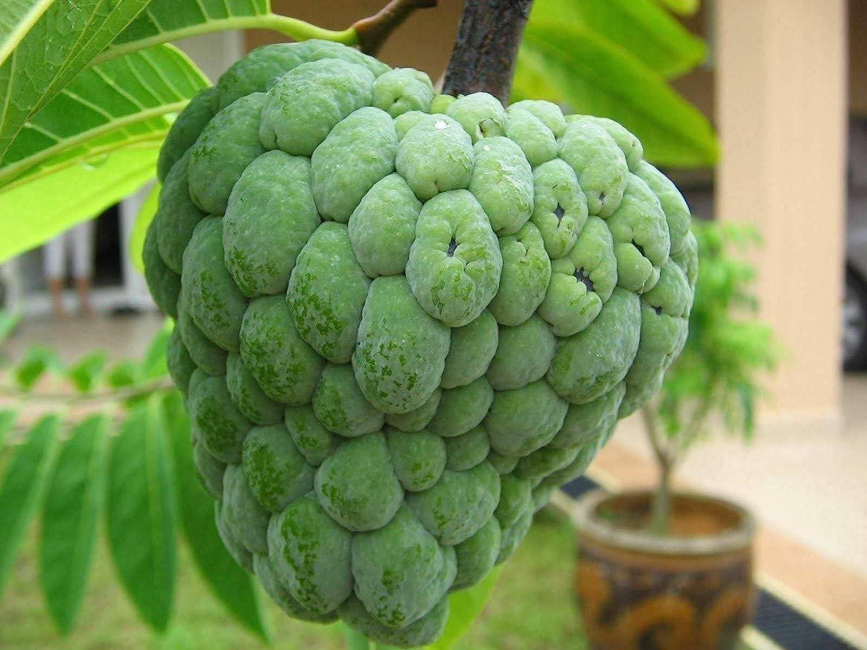 Live Plant - Sugar Apple Tree 2 to 3 Feet Tall Ship in 3 Gal Pot
