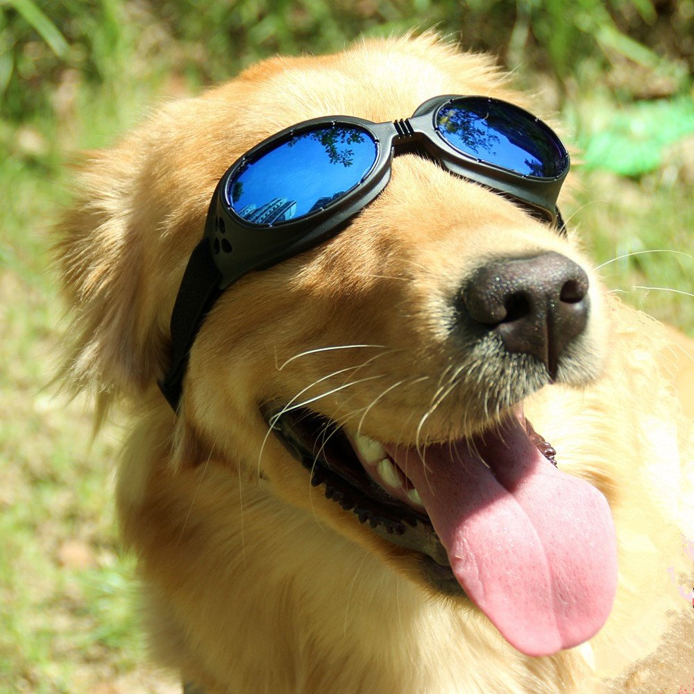 Pet UV Protective windproof Goggles anti-fog Dog Sunglasses for Pet, Head Girth 14''-20'', Blue Lenses
