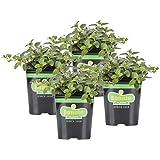 Bonnie Plants Peppermint Live Edible Aromatic Herb Plant - 4 Pack, Pet Friendly, Low Light, Part Shade