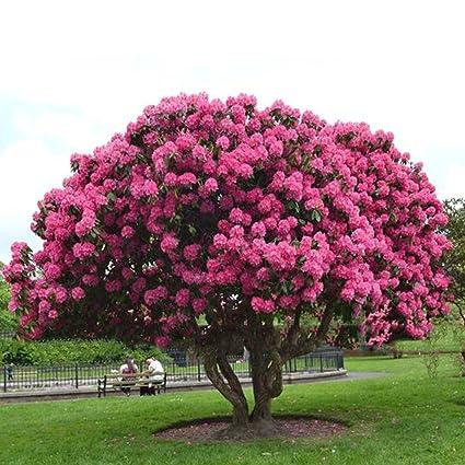 Amazon com : Giant Pink Sakura Cherry Tree Seeds Japanese Sakura