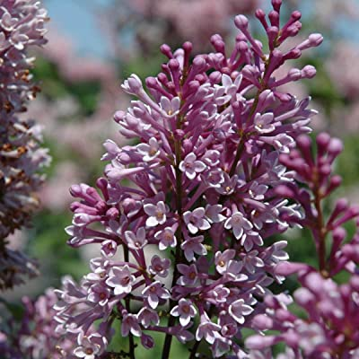 Royalty Lilac (Syringa) Starter Hedge Kit, Live Bareroot Shrubs, 12 to 18 inches Tall (10-Pack) - Just $9.00 per Plant Delivered! : Garden & Outdoor