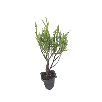 Seaspray Juniper Qty 60 Live Plants Groundcover : Garden & Outdoor