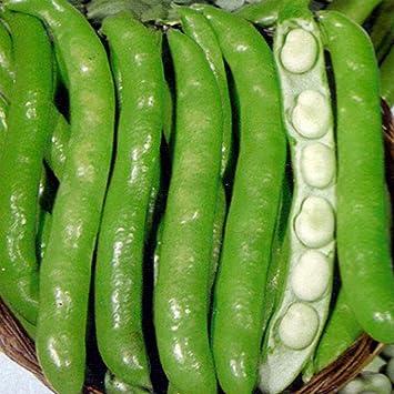 Dicke Bohne Ackerbohne 30 Samen Dreifach Wei/ße