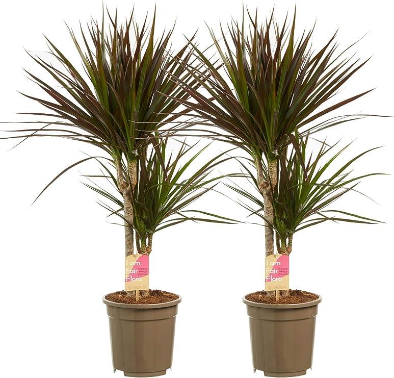 Plantas de interior de Botanicly – 2 × Árbol dragón – Altura: 80 ...