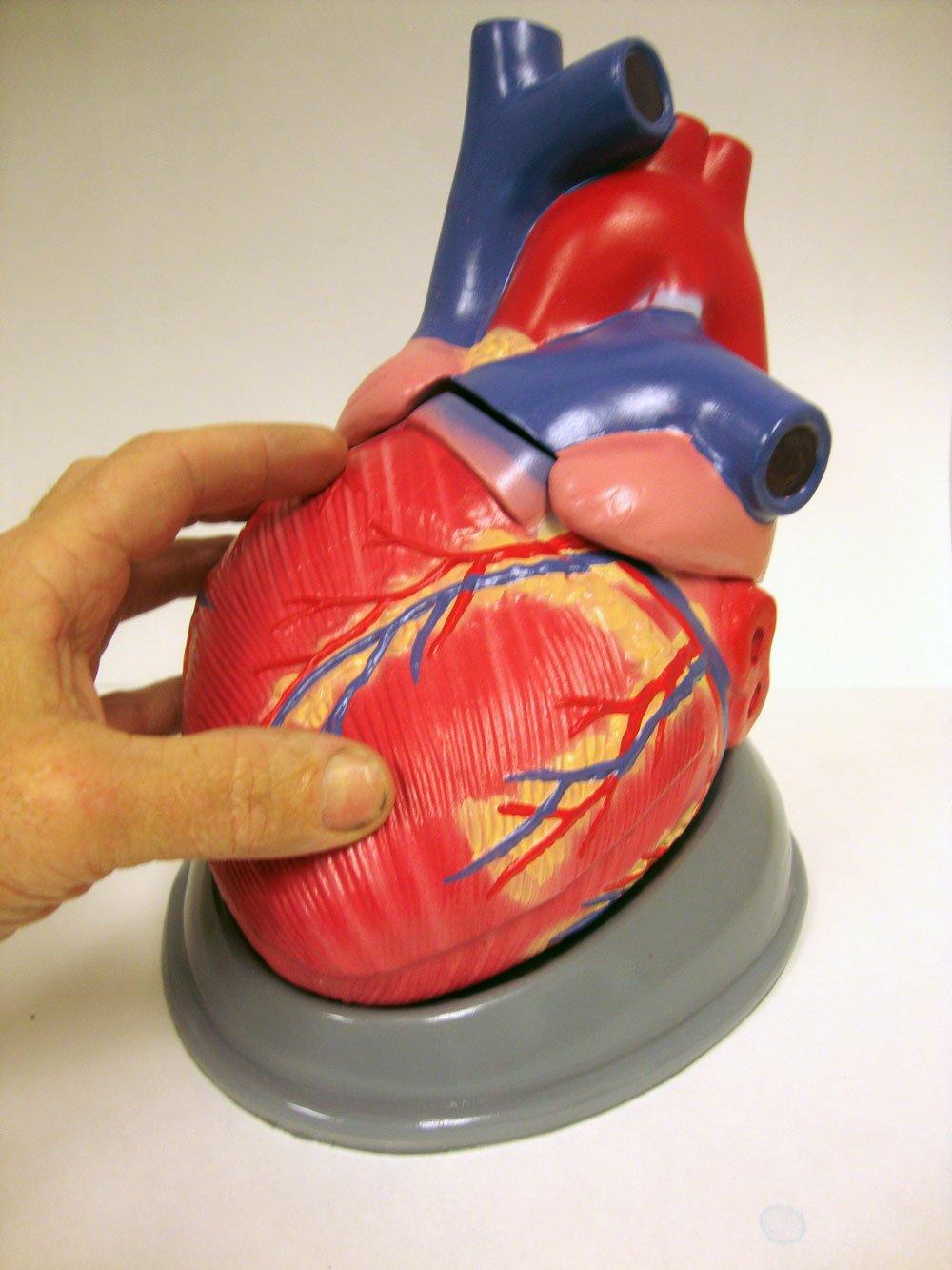 Big Bertha Giant 2x Life Size Human Heart Model Amazon