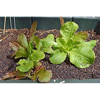 Oak Leaf Heirloom Lettuce - 500 Seeds! Garden Vegetable Leaf Lettuce Mix- Make Beautiful and Fresh Tasty Salads!-G : Garden & Outdoor