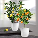 Lemon and Orange Combo x 2