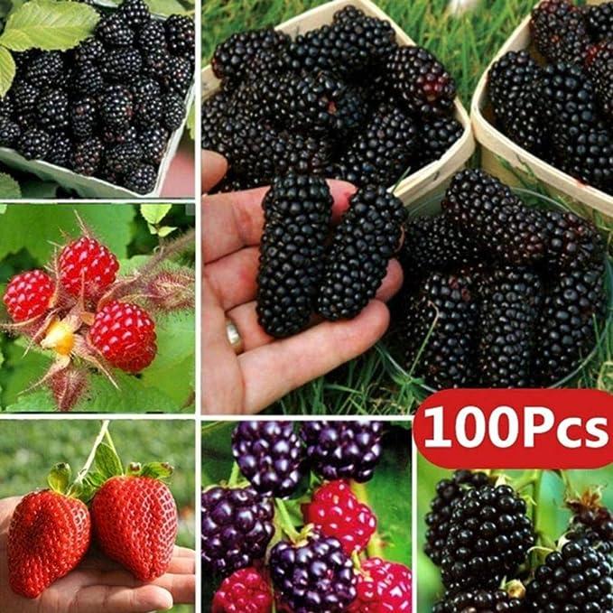 100Pcs Rare Raspberry//BlackBerry//Strawberry//Kiwi Seeds Nutritious Fruits Bonsai Plant for Home Yard Garden BlackBerry Seeds