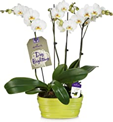 Hallmark Flowers Double Spike White Orchid Duo in 10-Inch Lime Green Ceramic Container