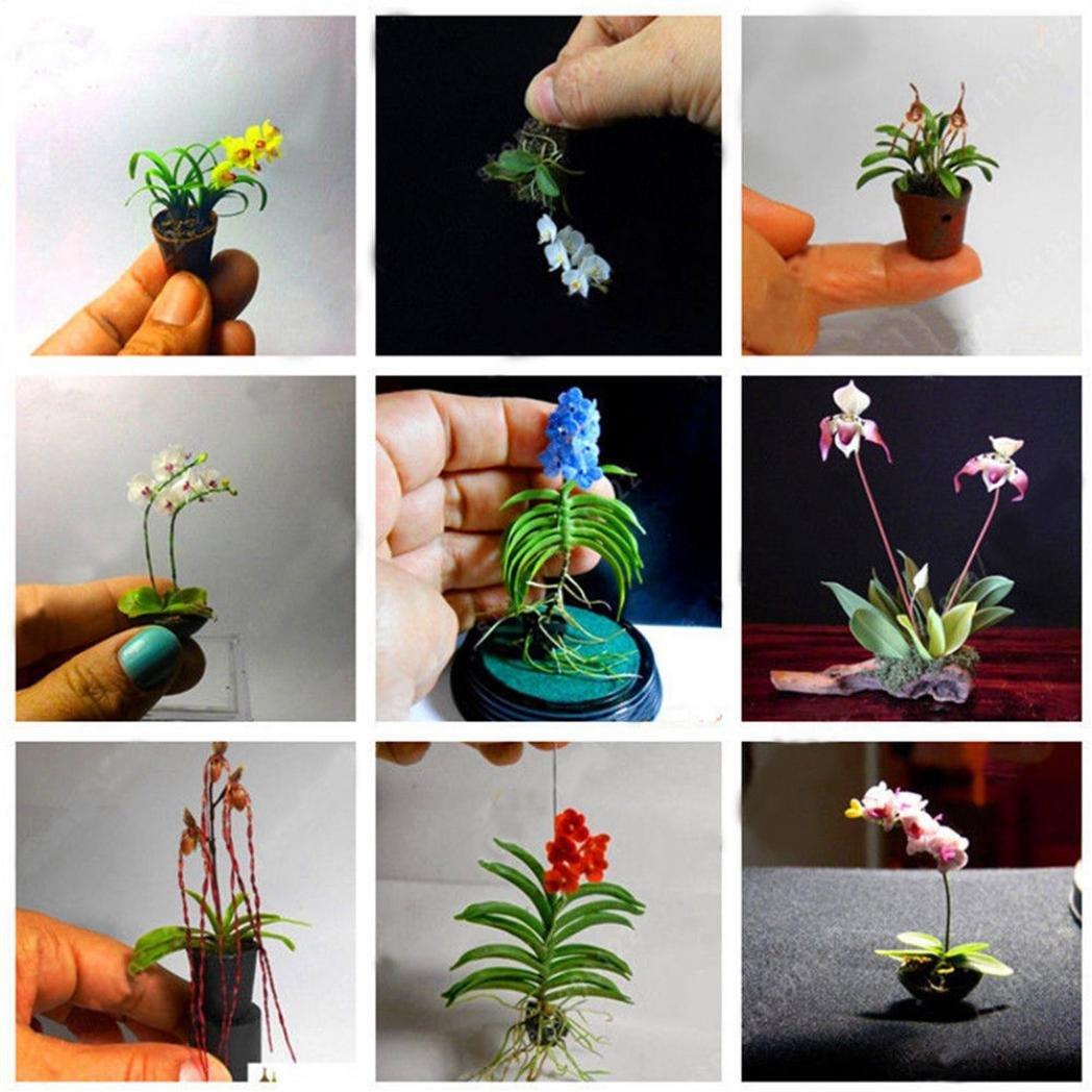 f6d4f9388c02 Amazon.com  Potato001 100PCS Rare Mini Orchid Seeds Seed Flower  Phalaenopsis Indoor Miniature Garden  Garden   Outdoor