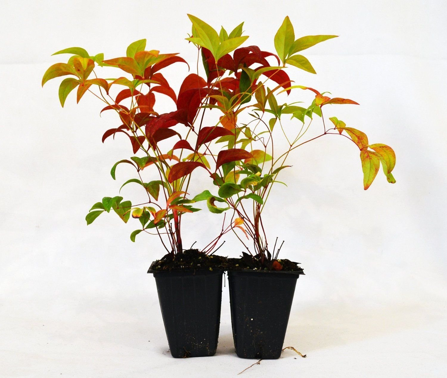Nandina Domestica Fire Power (Heavenly Bamboo) - 2 Pack Hardy Shrub Mature Green