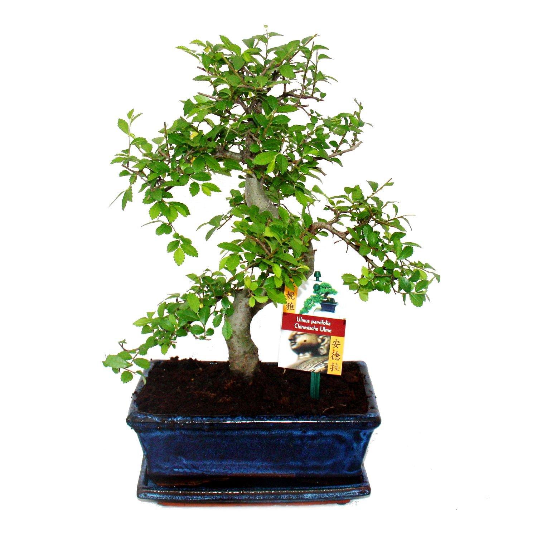 Bonsai chinesische Ulme - Ein Bonsai für kühle Zimmer: Amazon.de: Garten