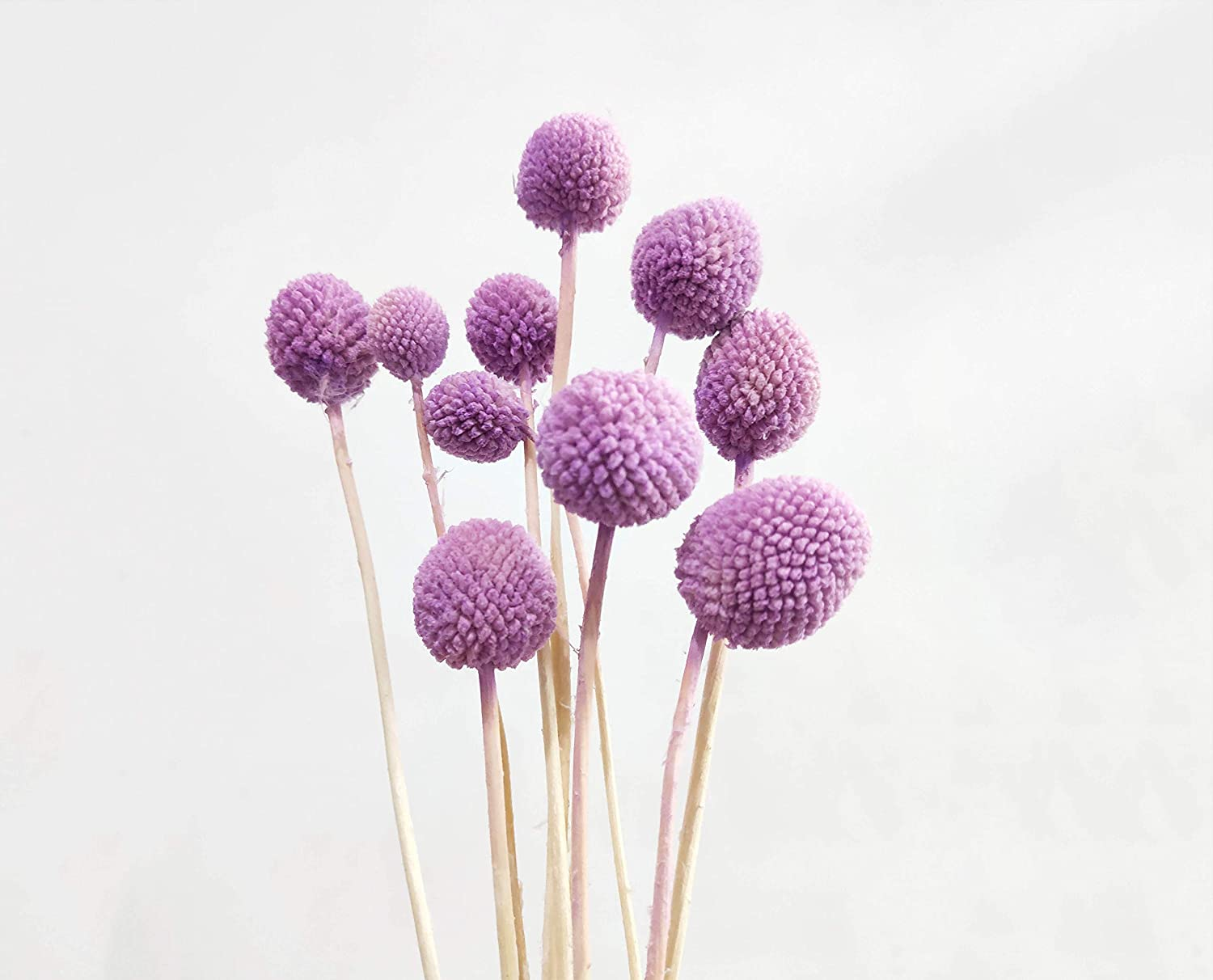 20 Stems Dry Craspedia Natural Dried Pink Purple Billy Balls 20 Inch Tall Dry Billy Button Dried Floral Arrangement Floral Decor Home Decor Home Kitchen Home Decor