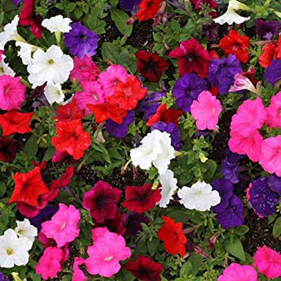 Civilys Home Garden Rare Petunia White Blue Flower Morning Glory Seeds Flowers : Garden & Outdoor
