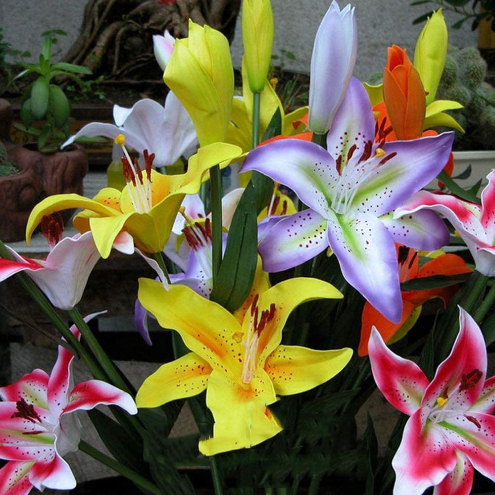 Perfume Lily Flower Bulbs-4PACK,Mixed Colors Oriental Lily Large Bulbs,Heavenly FragranceAsiatic Lily Bulbs,Blooming Perennial Planting Flowers Set,Home Garden Flower Decoration,Easy to Live and Grow