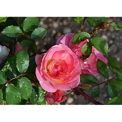 Easy Elegance Rose Sunrise Sunset > Rosa 'BAIset' >Landscape Ready 2 Gallon Container : Garden & Outdoor