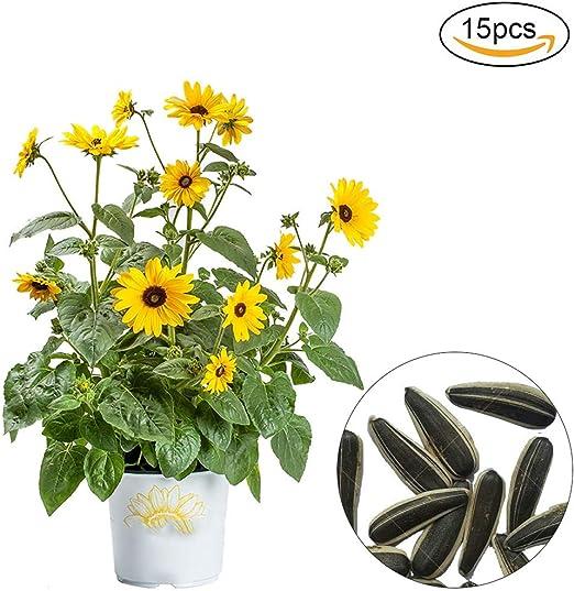 Xiton 15 PCS/SET Semillas De Girasol Flores Para La Plantacion De Jardin Prima Semillas De La Herencia Alta Tasa De GerminacióN Semilla De Girasol Para Plantar JardineríA (Amarillo): Amazon.es: Jardín