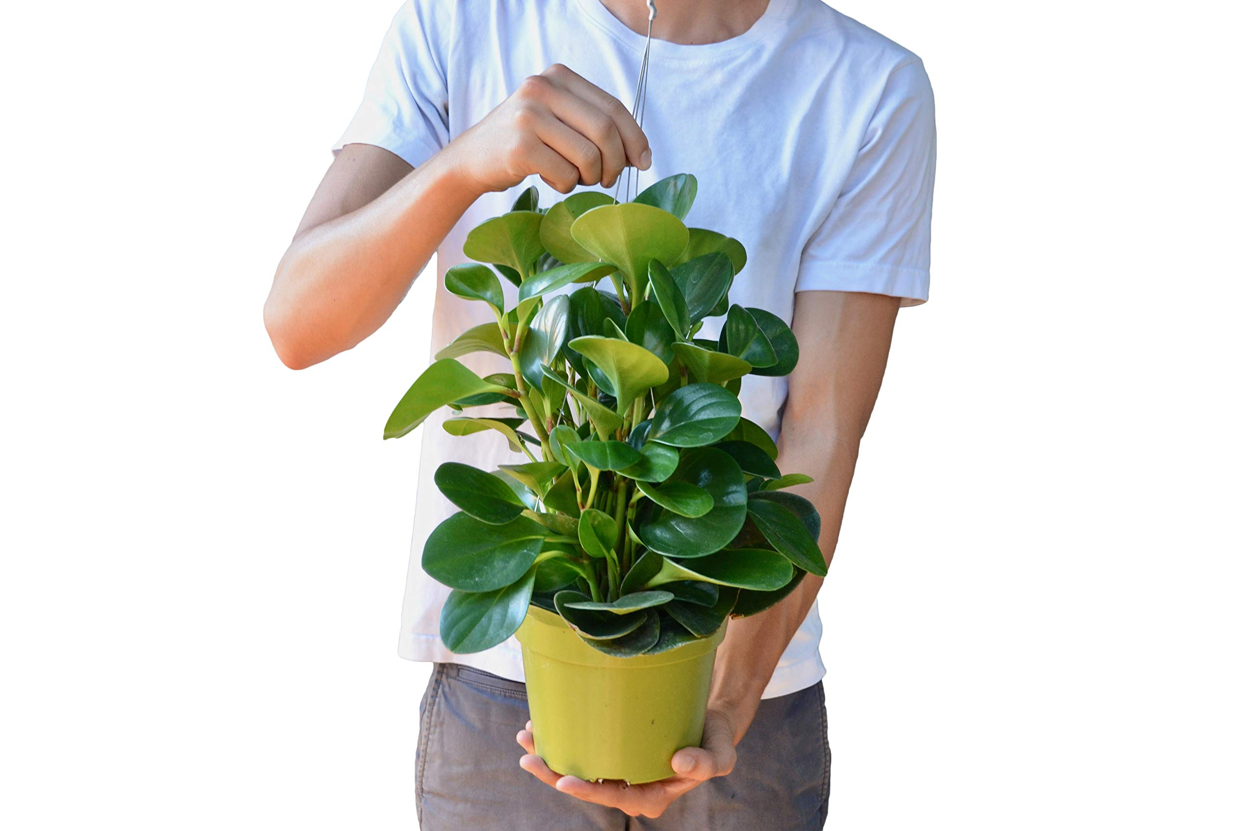 Peperomia 'Thailand' in 6'' Pot - Live House Plant - FREE Care Guide
