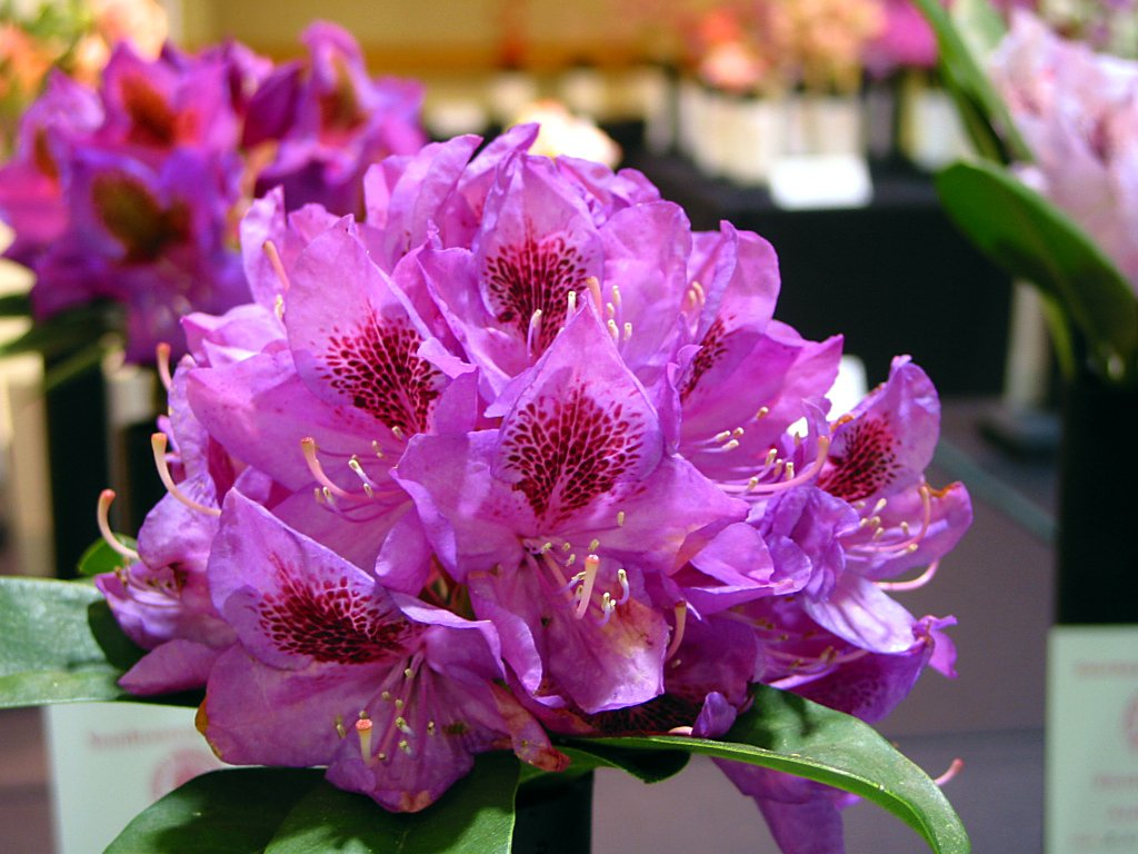 Rhododendron Anah Kruschke Mature 24'' to 30'' Wide Plant - Light Purple with Deep Purple Blotch