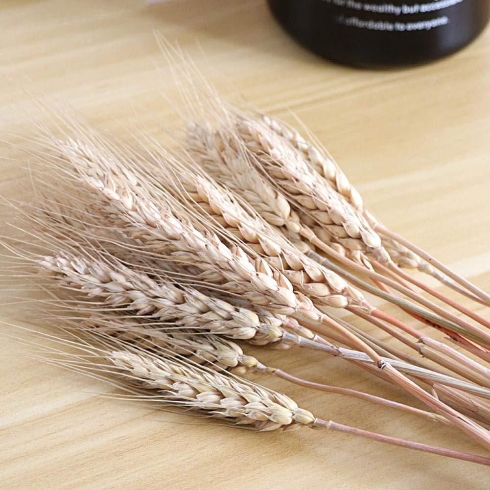 laurelxi 100 St/ück Trockener Weizen Weizen Getrocknete Blumen Nat/ürlich Biologisch Umweltschutz Echter Weizen Verwenden Sie In Str/äu/ßen Mittelst/ücken Und Blumenarrangements