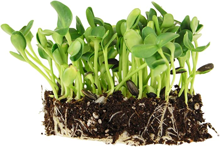 Whole Sunflower Sprouting Seeds: 25 Lb Bulk ~ 640,000 Seeds - Black Oil Sun Flower Seeds (Shell On): Microgreens, Sprouts, Flower Gardening - Sun Flower