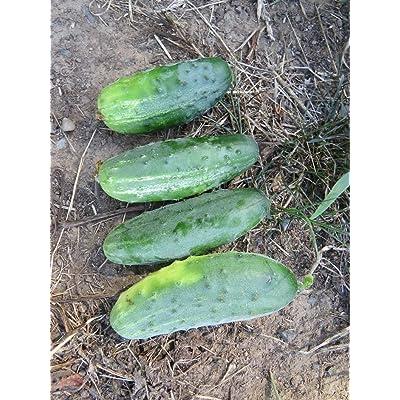 AchmadAnam - 250 Seeds - Cucumber Seeds Pick A Bushel Pickling Cucumber F1 Hybrid. E1 : Garden & Outdoor