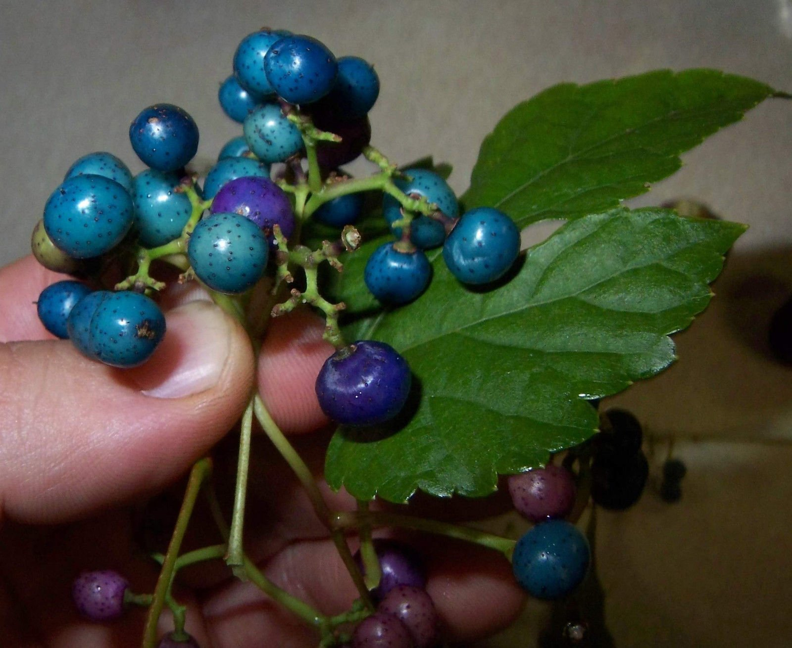 Porcelaine grape berry vine seeds, Ampelopsis, hardy liana, blue rare berries
