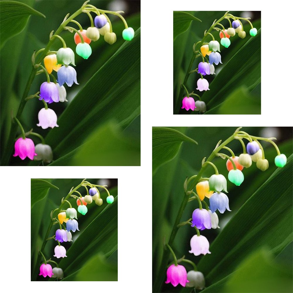 (Colorful Lily *Ambizu*) 10+10 Seeds / Pack, Convallaria Majalis Colorful Lily of the Valley AMBIZU 99-98-EP