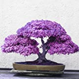 Adarl 20 pcs / Bag Rare Japan Maple Seed Bonsai Maple SeedsTree Seeds Balcony Plants For Home Garden Purple