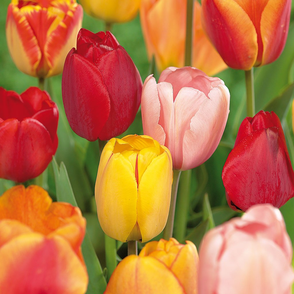 Van Zyverden Tulips Darwin Hybrid Mixture Set of 25 Mammoth Bulbs by VAN ZYVERDEN