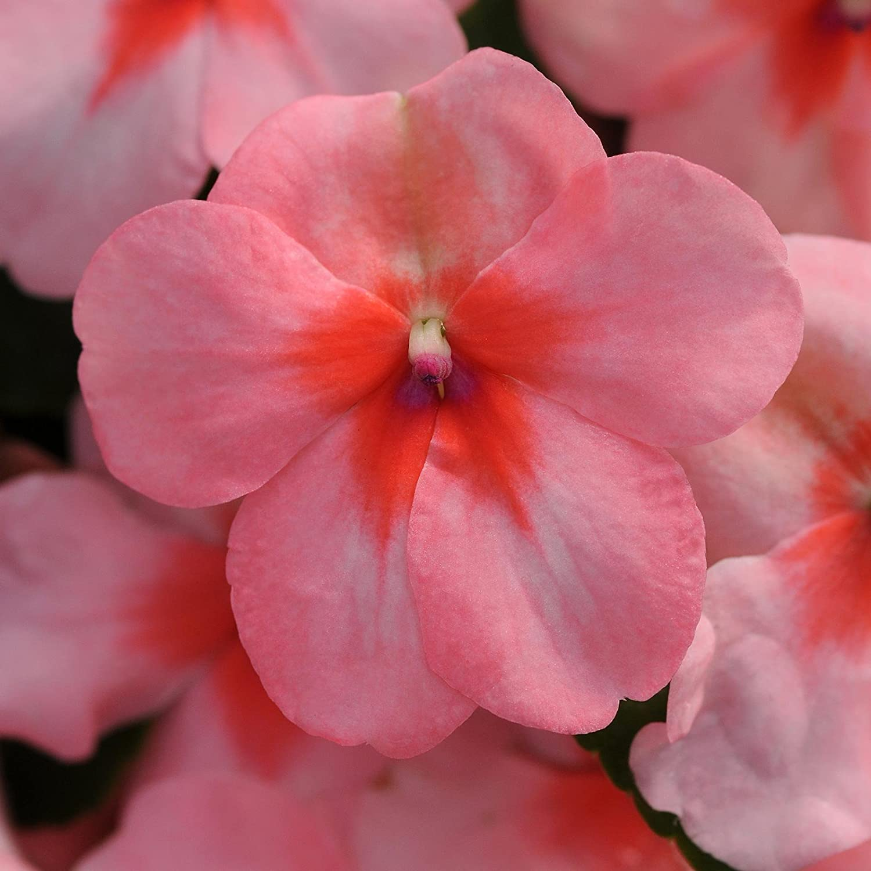Impatiens Flower Garden Seeds - F1 Dazzler Series - Coral - 500 Seeds - Annual Flower Gardening Seeds - Impatiens wallerana