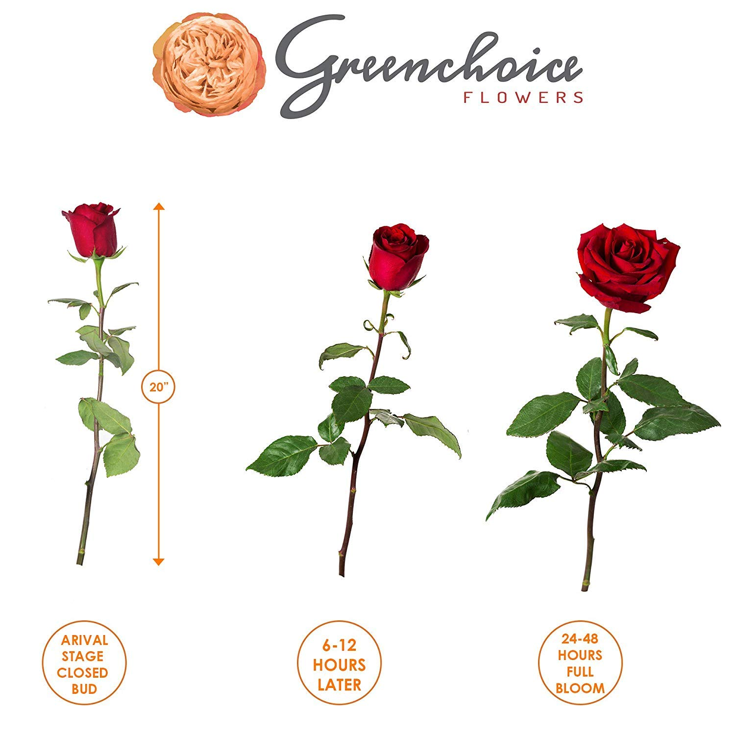 Green Choice Flowers - 24 (2 Dozen) Premium Red Fresh Roses with 20 inch Long Stem Farm Fresh Flowers Beautiful Red Rose Flower Cut Per Order Direct from Farm Fast Free Delivery Long Lasting by Greenchoiceflowers (Image #7)