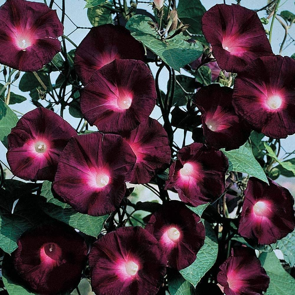 100pcs Exotic Morning Glory Seeds Mix Colors Rare Organic Non-GMO Perennial Beautiful Natural Ornamental Flower for Home Garden Decoration Easy to Grow
