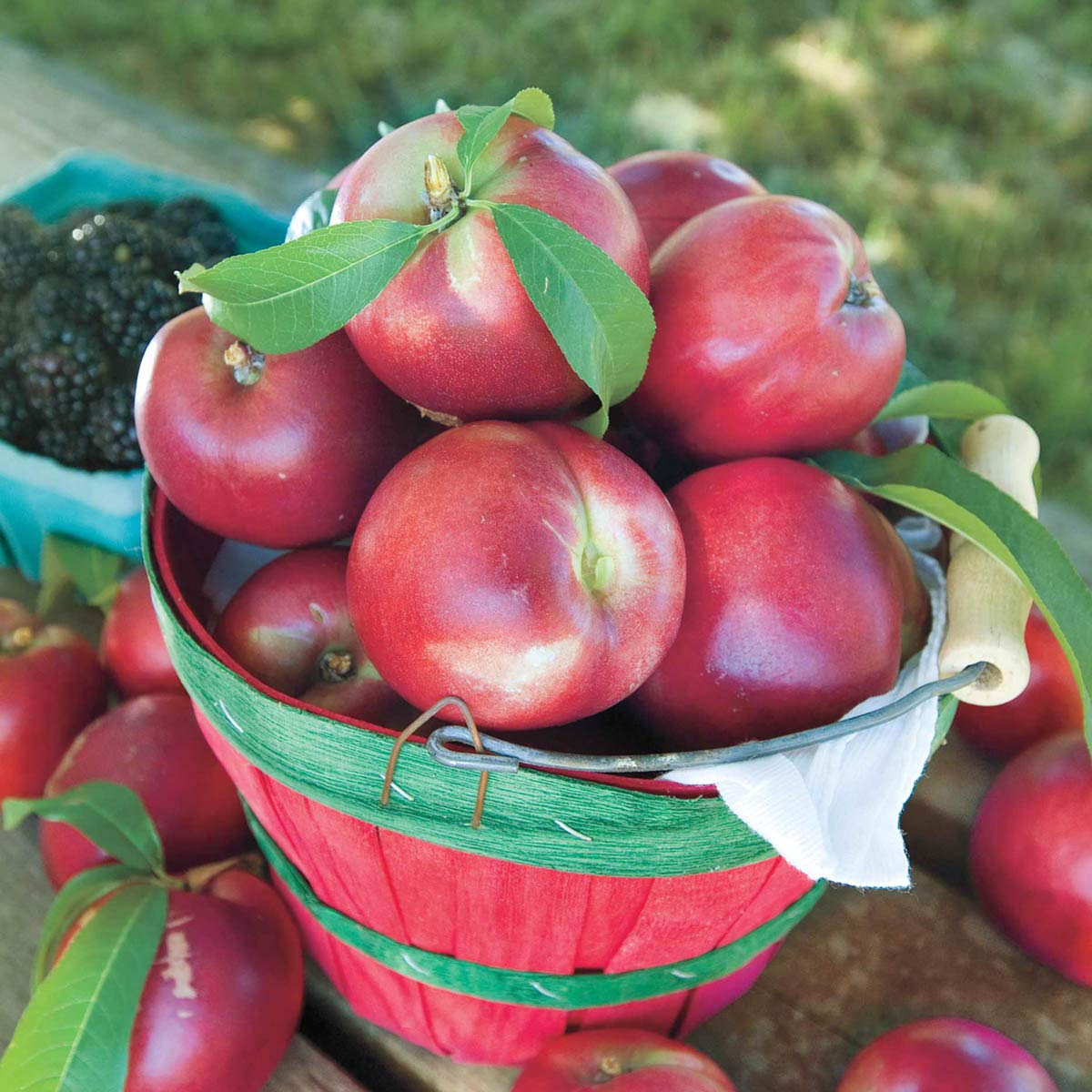 Nectarine Yumm Yumm REACHABLES Bare Root Fruit Tree - Enjoy Nectarines with Needing a Ladder to Maintain! Includes 1 Tree per Order. Due to regulations Can't Ship to AL AR CA CO ID LA MS OR WA by Gurneys (Image #2)