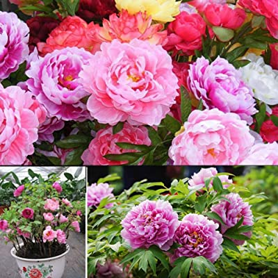 Peony Seeds for Yard Gardening Plant, 50Pcs Mixed Color Double Peony Seeds Plant Balcony Garden Bonsai Flower Decor - Mixed Color Peony Seeds by Mosichi : Garden & Outdoor