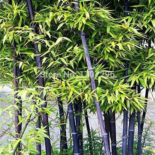 Semillas raras púrpura Timor bambú Bambusa Lako, DIY planta de jardín - 50 PC / porción: Amazon.es: Jardín