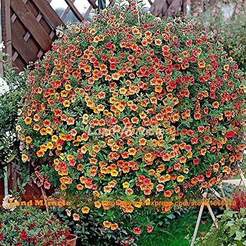 200 Seeds, Hanging Calibrachoa Golden Red Petunia Flower Seeds, Annual Ornamental Plant DIY Garden & Balcony Pot-WANCHEN