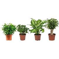 Plantas de interior de Botanicly – 4 × Ficus Green Kinky, Coffea, Dieffenbachia, Ficus Natasja – Altura: 25 cm