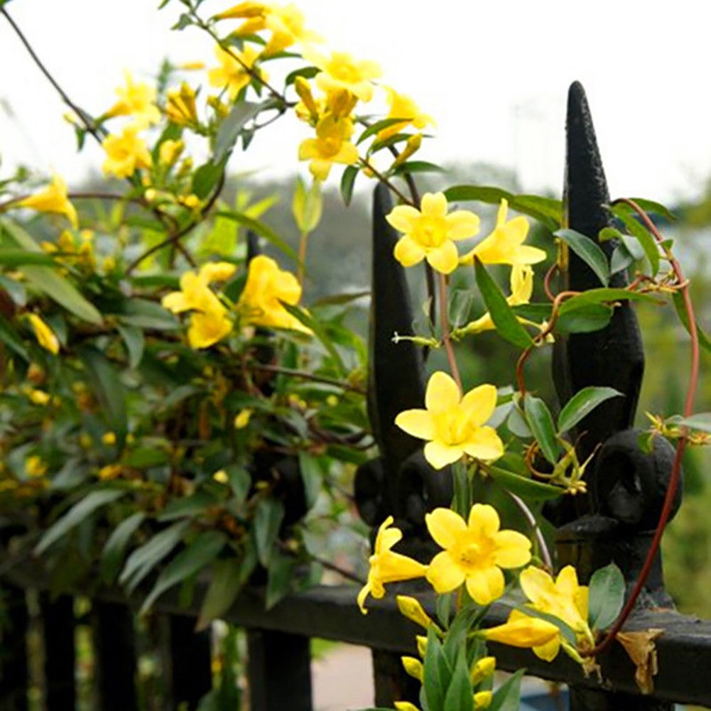 Amazon Afco 100pcs Garden Yellow Jasmine Seeds Light Fragrant
