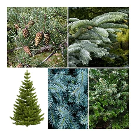 Christmas Tree Seeds.Rp Seeds Christmas Tree Seed Collection 5 Individual Packets With Growing Guides In A Recyclable Kraft Box Save 20 On Normal Prices