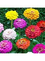 UtopiaSeeds Heirloom Zinnia Seeds - Cut and Come Again Zinnia Seeds - Zinnia Pumila Mix Seeds