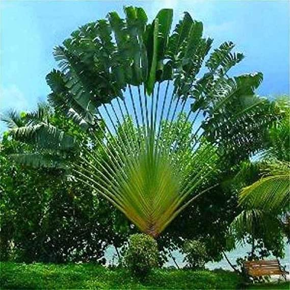 20X Perennial Plant Palm Seeds Tropical Cycas Seed Garden Rare Tree Plant Seed
