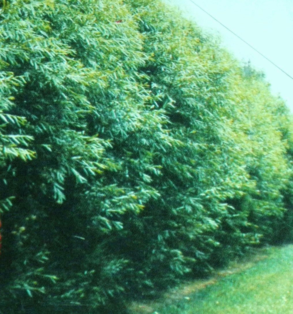 Amazon.com : 24 Hybrid Willow Trees. Austree grows 12 foot 1st ...