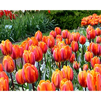 Grandiosy Tulip Bulbs, Early Blooming, 12/+cm (Hermitage, 25 Bulbs), Ready Product from Grandiosy Farmer : Garden & Outdoor