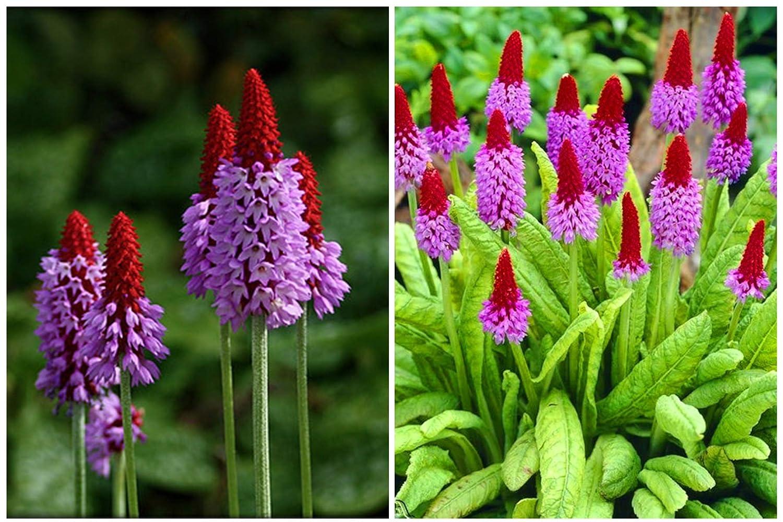 6 X Primula VIALLI RED HOT Poker Plug Plants