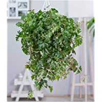 BALDUR-Garten Hängepflanze Cissus, 1 Pflanze Zimmerpflanze hängend