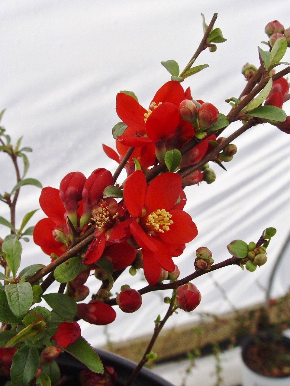 Proven Winners - Chaenomeles Double Take Scarlet (Quince) Shrub, scarlet/ thornless, #2 - Size Container by Green Promise Farms