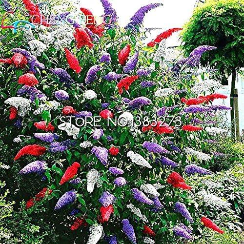 100seeds Una bolsa de Buddleja semillas de flores decoración de jardín al aire libre Yerba Buena Bonsai atraer a los peces fáciles de plantar Semillas: Amazon.es: Jardín