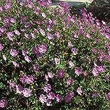 Kölle Storchschnabel Rozanne® - Geranium wallichianum Rozanne - blau blühende, schneckenunempfindliche Gartenstaude im 11 cm Topf - frisch aus der Gärtnerei - Pflanzen Gartenstaude