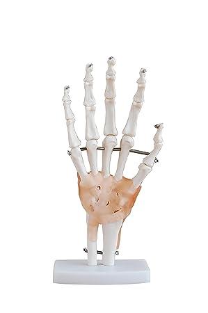 Hand Wrist Joint Anatomy Model New Life Size Anatomical Model
